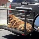Mulltas de hasta $ 6.000 para quienes lleven mascotas en jaula y fuera del vehículo